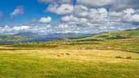 View from Kerry Cliffs on resting or grazing cattle on fields and pastures