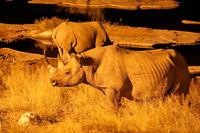Black rhino at night, Etosha National Park, Namibia, (Diceros bicornis)