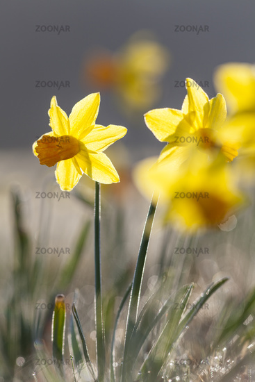 Yellow daffodil (Narcissus pseudonarcissus)