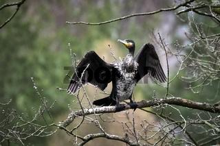 Kormoran ( Phalacrocorax carbo ).