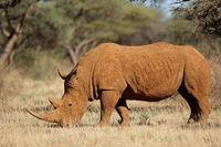 A white rhinoceros (Ceratotherium simum) in natural habitat