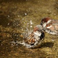 Sparrow bathes