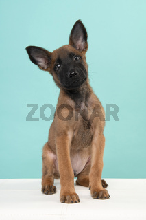 Belgian shepherd or Malinois dog puppy looking at the camera sitting on a turquoise blue background seen from the front