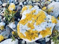Xanthoria parietina common yellow lichen