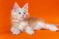 Purebred male kitten of red silver classic tabby color lies in relaxed pose on orange background