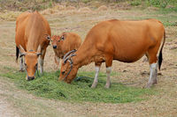 Bali cattle cows and calf - domesticated wild cattle (Javan banteng) from Bali