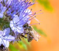 Honeybee on a phacelia flower blossom