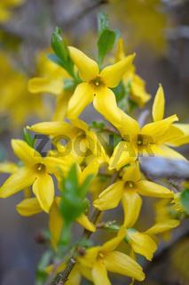 Beautiful Yellow blossoms of forsythia bush in garden