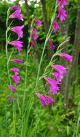cornflag, Gladiolus communis,