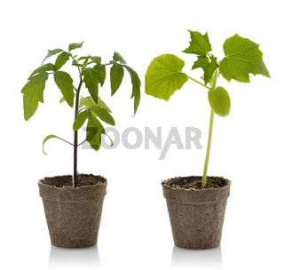 Tomato And Cucumber Plants