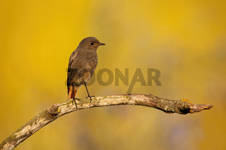 Black redstart looking on branch in sunrise with copy space
