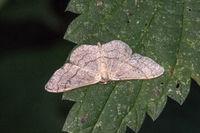 Weißgrauer Kleinspanner (Scopula incanata)