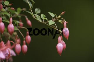 Fuchsie, fuchsia,