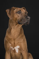 Portrait of a Rhodesian Ridgeback dog looking up at a black background in a vertical image
