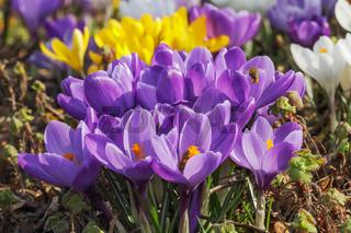 Violette Blüten des Frühlings-Krokus (Crocus vernus). Mit weißen und gelben Krokussen im Hintergrund.