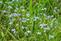 Forget me not - spring blue flowers