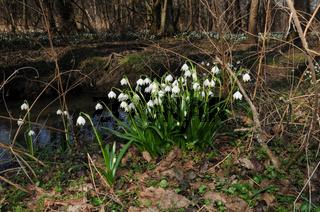 Leucojum vernum, Märzenbecher, Snow Flakes