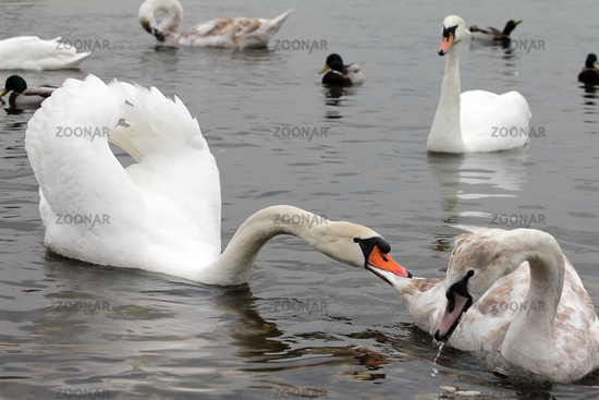 adult swan biting young swan