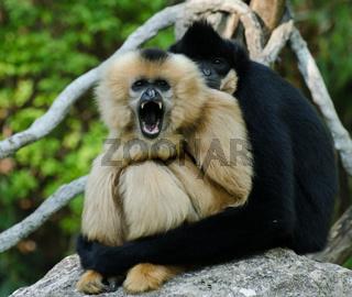 Gibbon-Paar in inniger Umarmung