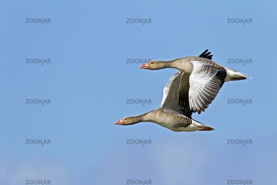 Greylag Geese in flight / Anser anser