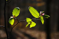Hornbeam leaves in the backlight after new shoots in spring