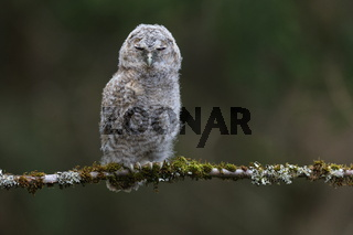 Little Tawny Owl or Brown Owl (Strix Aluco) sitting on the tree in the forest Germany
