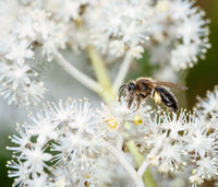 Bee pollinating of a rodgersia flower blossom