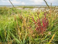 Salicornia europaea Europaeischer Queller