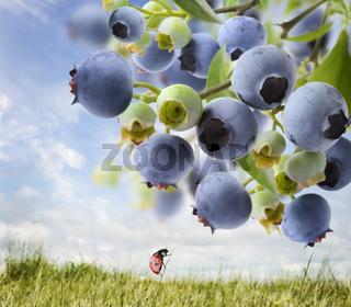 Blueberries  On A Bush