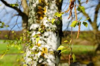 Birke Blätter und Blüten