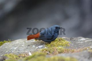 Plumbeous Water Redstart, Rhyacornis fuliginosa, Ladakh, Jammu Kashmir, India