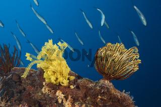 Variabler Prachtstern, Papua Neuguinea