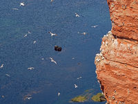 Guillemot rock of Heligoland high sea island with flying seagulls and northern gannets, Germany