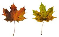Two colorful maple leaves