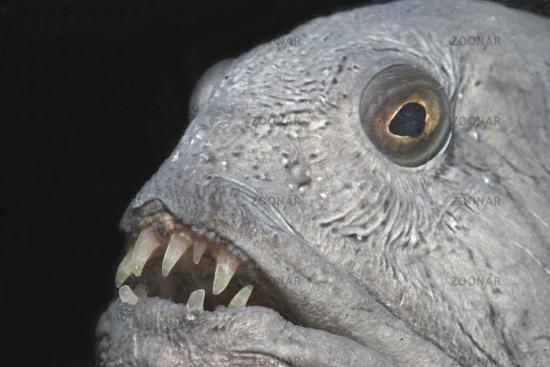 Atlantic wolffish, seawolf, Atlantic catfish
