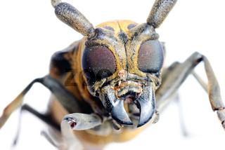 insec long horn beetle
