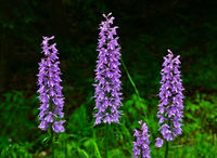 moorland spotted orchid, heath spotted-orchid, spotted orchid