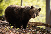Large female of brown bear facing camera in summer beech forest