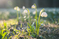 Leucojum vernum or spring snowflake - blooming white flowers in early spring in the forest, closeup macro photo with sunrays.