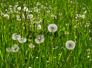 Löwenzahnwiese, Samenstand, Pusteblumen, Taraxacum sect. Ruderalia, dandelion
