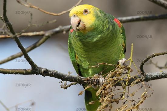 Yellow-headed Amazon (Amazona oratrix), Rosenstein Park, Stuttgart, Baden-Wuerttemberg,Germany