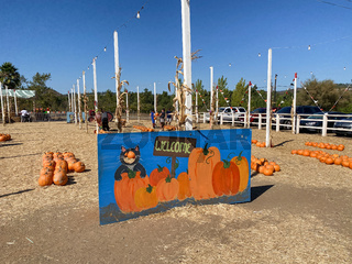 A pile of pumpkins at the pumpkin patch. Field of orange pumpkins during the harvest season.