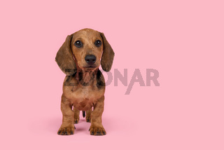 Cute badger dog puppy standing looking at the camera on a pink background