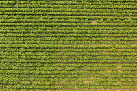 Aerial view of blooming potatoes crops on field