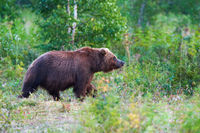 Kamchatka brown bear Ursus arctos piscator in natural habitat, walks in summer forest. Kamchatka Peninsula