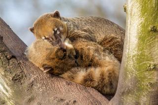 Two coatimundis are sleeping