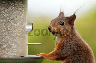 Eichhörnchen an der Futtersäule