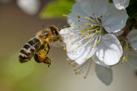 Honey bee is pollinating a blossom