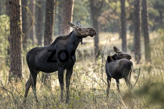 Mother moose and her calf.