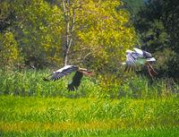 Flying White Storks